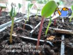 Growing Sunflowers – Instructions