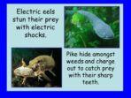 Life Cycle of Fish