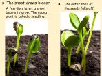 Life Cycle of a Sunflower – Seed to Sunflower